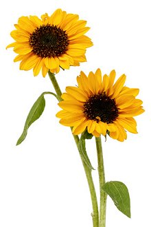 My Blog. Library Image: Sunflowers